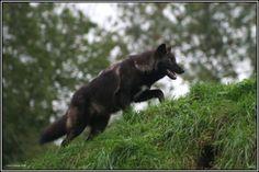 http://fc08.deviantart.net/fs12/i/2006/314/9/0/The_Black_Wolf_by_CoupeKid.jpg
