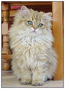 British longhair cat, black golden shaded