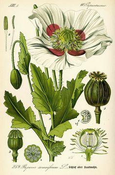 Otto Wilhelm Thomé, illustration of opium poppy Papaver somniferum, 1885. Gera, Germany.