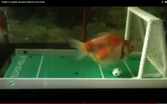 Goldfish Plays Soccer - video : huffpost green