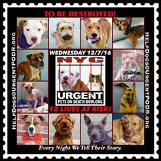 """12 BEAUTIFUL LIVES TO BE DESTROYED 12/07/16  @ NYC ACC **SO MANY GREAT DOGS HAVE BEEN KILLED: Puppies, Throw Away Mamas, Good Family Dogs. This is a HIGH KILL """"CARE CENTER"""" w/ POOR LIVING CONDITIONS.  Please Share:  To rescue a Death Row Dog, Please read this: http://information.urgentpodr.org/adoption-info-and-list-of-rescues/ /"""