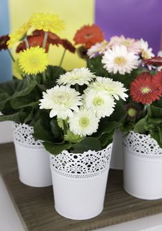 Sundayz® mini mix gerbera daisy outdoor