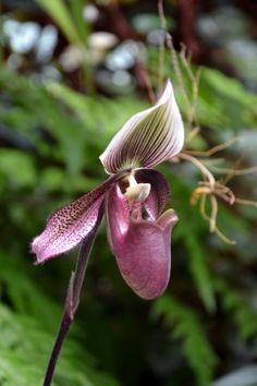 Free Stock Photo of Slipper orchid - Freerange Stock