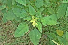 O Caruru (Amaranthus viridis L.) é uma planta da família dasAmaranthaceae, muito comum em matagais urbanos do Brasil. Considerada por mu...