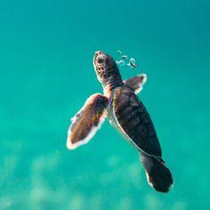 Turtle Life, Pet Turtle, Tiny Turtle, Super Cute Animals, Cute Baby Animals, Sea Turtle Wallpaper, Sea Turtle Pictures, Cute Baby Turtles, Turtle Swimming