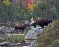 Maine wildlife photographer specializing in Maine photography workshops and Maine Moose photo tours in the Baxter State Park Katahdin region of Maine. Moose Pics, Moose Pictures, Animal Pictures, Moose Hunting, Bull Moose, Moose Deer, Moose Antlers, Hunting Stuff, Moose Art