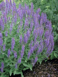 Salvia Blue Hill -- Bluestone Perennials