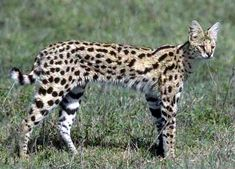 This picture of an African Serval Cat is the epitome of powerful, athletic, muscular small wild cats and is the foundation ancestor cat of the Savannah breed!!