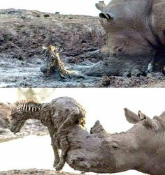 A Rhino saving a Zebra foal.