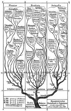 Ernst Haeckel, Tree of Life, 1866