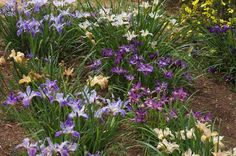 A rainbow of blossoming Pacific Coast iris in spring. Photo: courtesy of Wild…