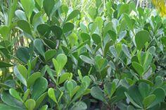 Clusia-fluminensis-(clusia)