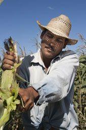 La mazorca de maíz seco debe permanecer en la planta 30 días más que la empleada para consumo humano (foto: AIXA LÓPEZ)