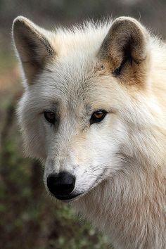 Alaskan Tundra Wolf, - Canis lupus tundrarum   by Ian Macfadyen