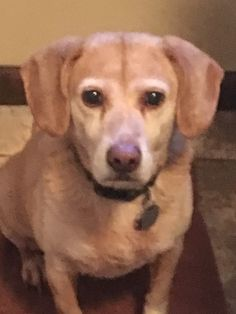 shay is an adoptable beagle searching for a forever family near Spring Lake, NJ. Use Petfinder to find adoptable pets in your area.