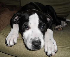 Diamond is an adoptable Pit Bull Terrier Dog in Augusta, ME. Diamond (nick name Dee) is 4 month old (Birthday: November 8th, 2011) Female pit bull mix puppy.� She is up to date on her vaccinations. Fo...