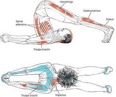 Yoga Anatomy for Plow or Salamba Sarvangasana!