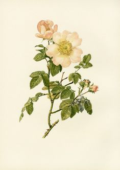 Ellen Willmott Genus Rosa 1914
