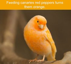 Red peppers have more uses than you think...