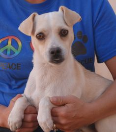 Two women driving in Las Vegas saw this young boy (now named Danny) in the middle of the street almost struck by vehicles.  They were able to safely capture him, but he had no sign of responsible ownership.  Danny is a very kind, cream & white Chihuahua mix with a cute underbite, 1 year of age, now neutered and debuting for adoption today at Nevada SPCA (www.nevadaspca.org).  Danny enjoys other dogs and he adores kind people who reassure him that peril will never come his way again.