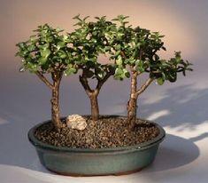 Miniature jade bonsai. Reminds me of Ruber Rios. :-)