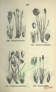 black_and_white - high resolution image from old book. Herb Art, White Pages, Botany, Bloom, Clip Art, Black And White, Floral, Illustration, Nature