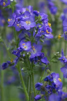 These Are The Flowers That'll Thrive in Your Shady Yard jacob's ladder shade perennials backyard garden Best Perennials For Shade, Flowers Perennials, Planting Flowers, Flowers Garden, Flower Gardening, Purple Flowering Plants, Shade Garden Plants, Shaded Garden, Jacobs Ladder Plant
