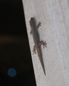 Gecko (Gekon), Ayutthaya