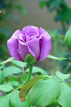 The color and the freshness ♦๏~✿✿✿~☼๏♥๏花✨✿写☆☀🌸🌿🎄🎄🎄❁~⊱✿ღ~❥༺♡༻🌺TH Dec ♥⛩⚘☮️ ❋ Lavender Roses, Purple Roses, Unusual Flowers, Pretty Flowers, Beautiful Roses, Beautiful Gardens, Bouquet, Rosa Rose, Rose Pictures