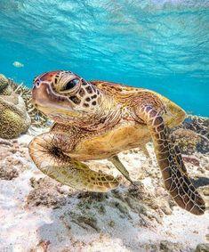 Sea Turtle by Mark Fitz Wild Creatures, Ocean Creatures, Most Beautiful Animals, Beautiful Creatures, Beautiful Places, Sea Turtle Wallpaper, Sea Turtle Pictures, Reptiles, Turtle Habitat