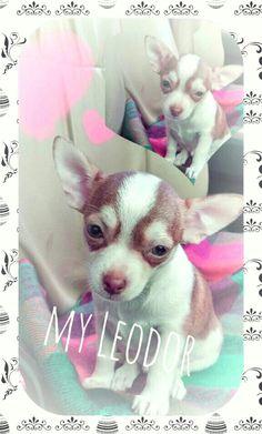 #chihuahua#cute#
