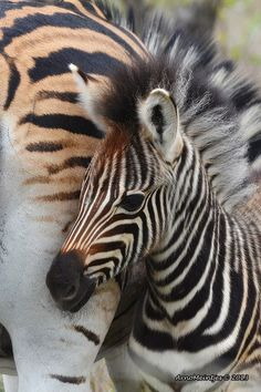 Baby zebra and mum Nature Animals, Animals And Pets, Baby Animals, Cute Animals, Beautiful Creatures, Animals Beautiful, Baby Zebra, Tier Fotos, All Gods Creatures