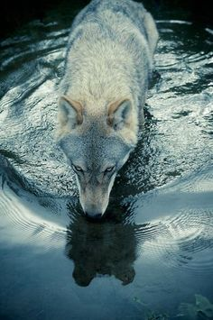 """This shot of a wolf slaking its thirst by Christian Houge - """"Untitled 3"""" - is from his painstaking work with wolf packs in Norway. Photo: Hosfelt Gallery"""