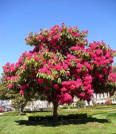 Rododendro - Família das ericáceas - Rododendro é o nome comum dado ás plantas do género Rhododendron, da família das ericáceas.  A maior parte dos Rododendros é proveniente das regiões dos Himalaias da Índia, da China, da Birmânia, e do Tibete, mas hoje em dia encontram-se em praticamente todos os continentes.  Tendo tamanhos variáveis, será bom plantar os rododendros maiores no centro dos canteiros e as variedades mais baixas na beira do canteiro.  A folhagem habi...