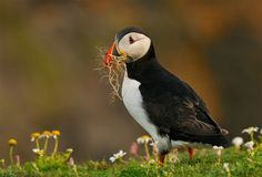 Instead Of Fish - Atlantic Puffin in early morning light between Daisies at…