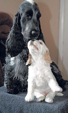 Our readers' photo of the week. #Cocker #Spaniels
