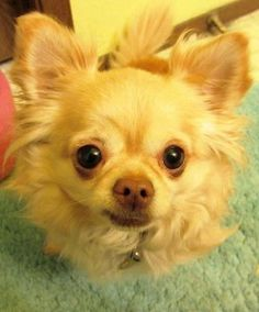 blonde long haired chihuahua
