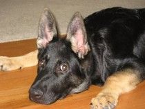 Socialization is a very important aspect of raising a puppy, especially a German Shepherd puppy.  GSDs really need socialization was they are growing up.  Read my article on the importance of socialization - http://www.examiner.com/german-shepherd-in-akron/the-importance-of-socialization