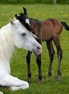 le saviez vous un cheval de Camargue sont tous blanc et a la naissance il sont d'une autre couleur comme marron et en devenant plus âgés il devienne blanc c'est vrait
