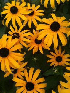 Black-Eyed-Susans.  My favorite flowers, my yard is full of them!