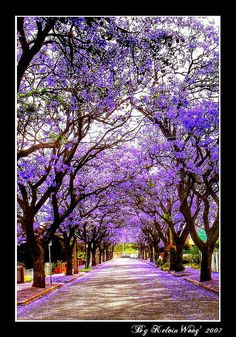 Jacaranda Blossom, Australia, by Kelvin Wong Photography, via Flickr