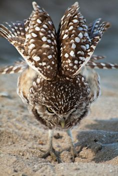 "owlsday: "" Burrowing Owl by Kyle Peterson on Flickr. """
