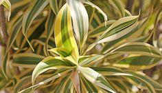 pleomele (Dracaena marginata)