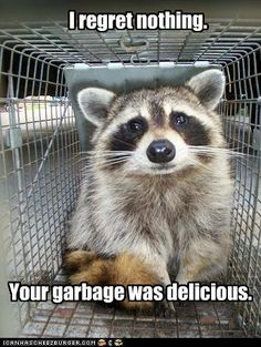 Adorable Raccoon do more than just roam in the trash… They also make funny memes! Raccoon is really a cute animal, isn't it? Check out the funny raccoon meme below that will make you laugh right now. Cute Funny Animals, Funny Animal Pictures, Funny Cute, Funny Photos, Funniest Animals, Animal Pics, Funny Shit, Funny Memes, Funny Stuff