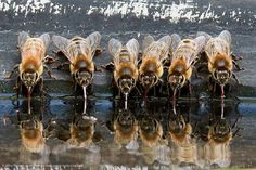 """malformalady: """" European honeybees find cool relief on a summer day, using their straw-like tongues, or proboscises, to sip water from a backyard birdbath. Photo credit: Kathy Noteboom / Grand Prize by National Wildlife Federation """" Beautiful Creatures, Animals Beautiful, Cute Animals, Buzzy Bee, I Love Bees, Bees And Wasps, Bee Friendly, Beautiful Bugs, Bee Art"""