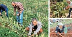 #Υγεία #Διατροφή Αλόη, το φυτό της αθανασίας που τρώγεται και πίνεται, καλλιεργείται στην Κρήτη ΔΕΙΤΕ ΕΔΩ: http://biologikaorganikaproionta.com/health/210146/