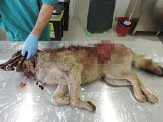 Oltre 200 anni di innocenza e l'uomo continua ad attaccare i lupi