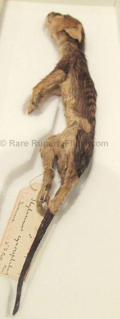 http://4.bp.blogspot.com/-r7pD5t_LT1Y/UwRjH6kikaI/AAAAAAAACfI/CIxb4_5-ywI/s1600/Tassie+tiger+2.jpg