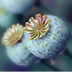 Poppies for my Poppy
