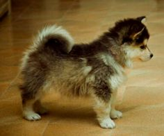 POMSKY PUPPY. Like my niece, Chelsea, I WANT, WANT, WANT ONE!! <3